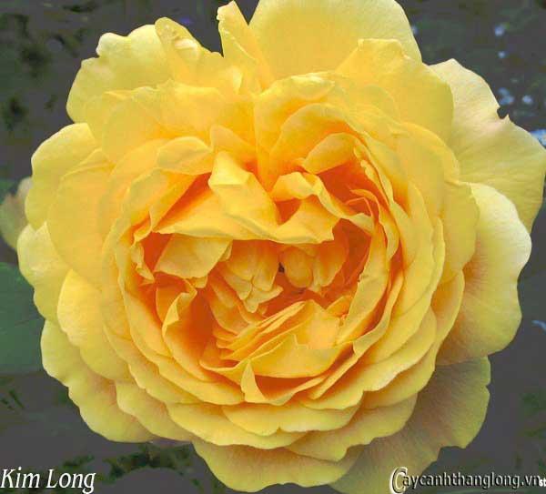Hồng leo Kim Long 15