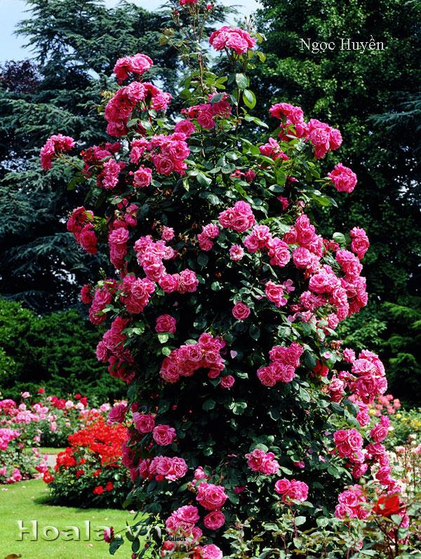 Cây hoa hồng leo Ngọc Huyền 117