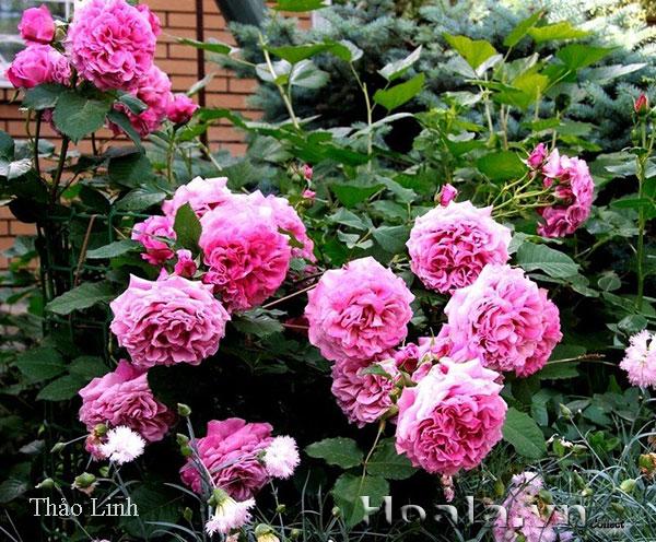 Cây hoa hồng leo Thảo Linh 146
