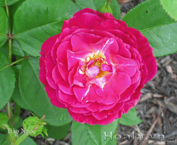 Cây hoa hồng leo Bảo Ngọc 127