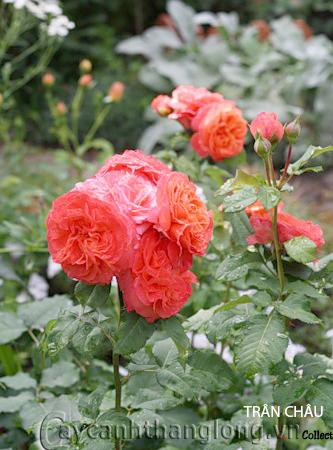 Cây hoa hồng leo Trân Châu 149