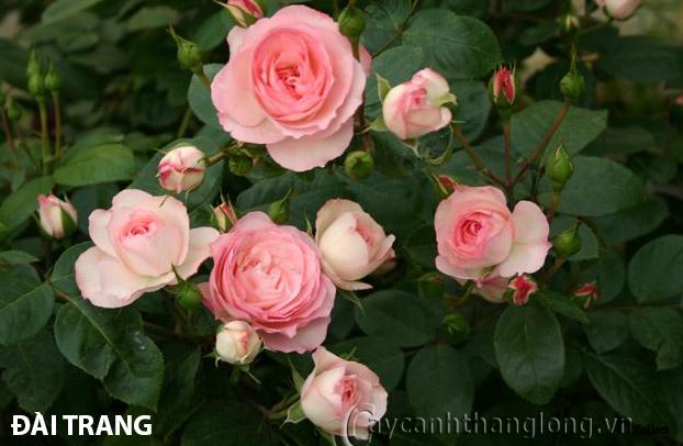 Cây hoa hồng leo Đài Trang 137
