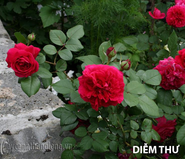 Cây hoa hồng leo Diễm Thư 136