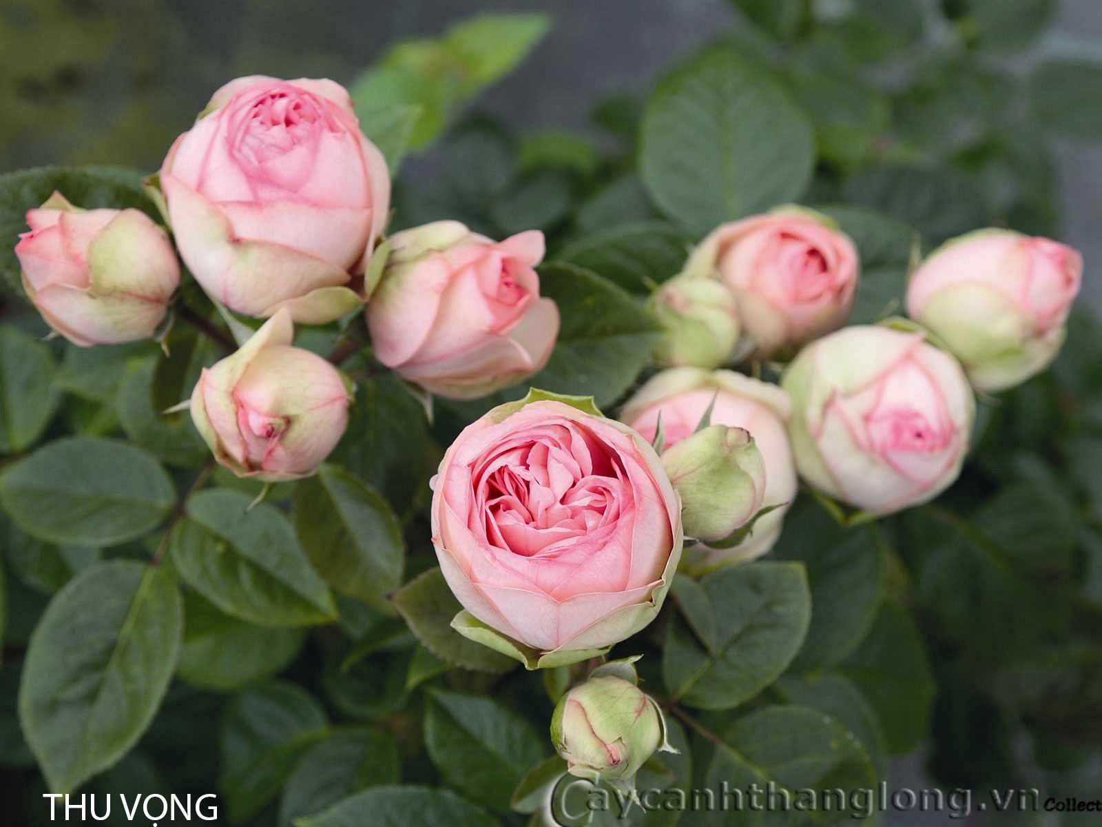 Cây hoa hồng leo Thu Vọng 130