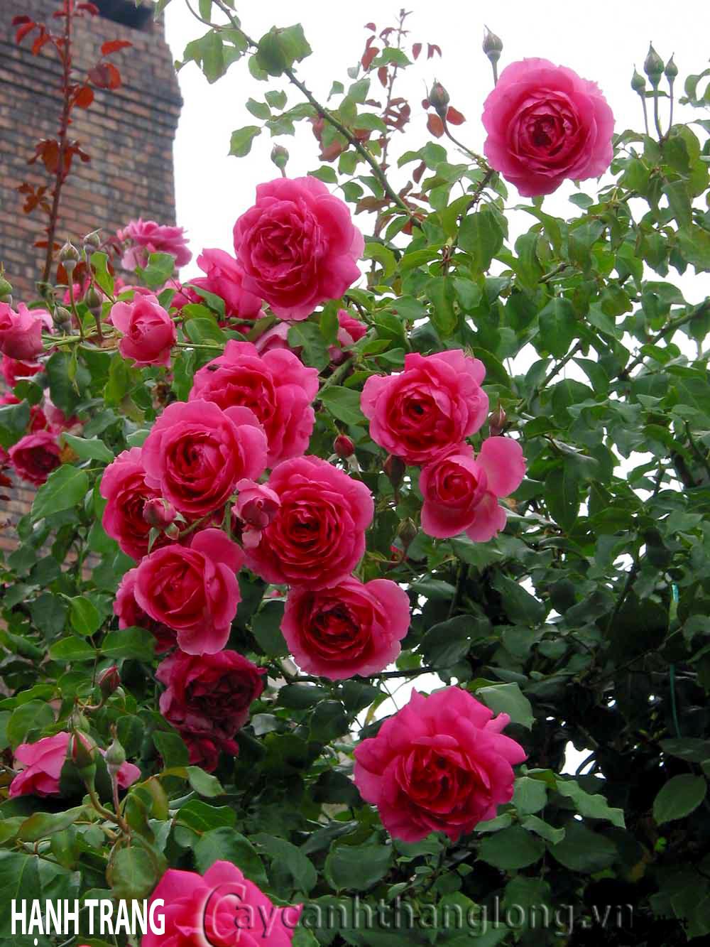 Cây hoa hồng leo Hạnh Trang 121