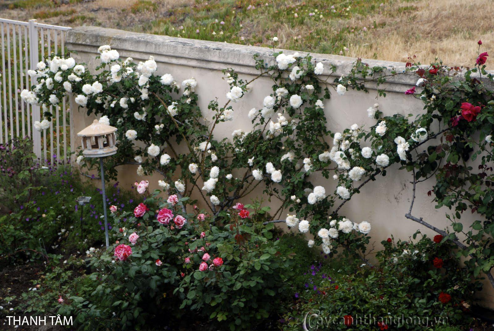 Cây hoa hồng leo Thanh Tâm 120