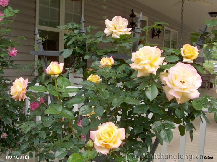 Cây hoa hồng leo Thu Nguyệt 152