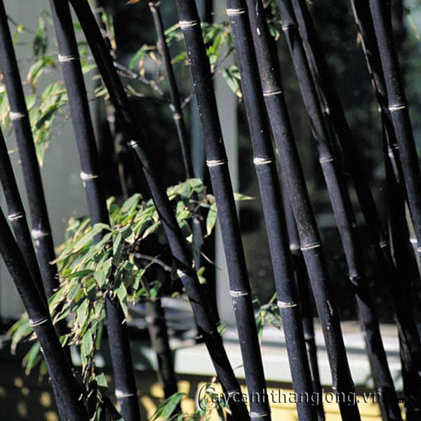 Cây Trúc đen