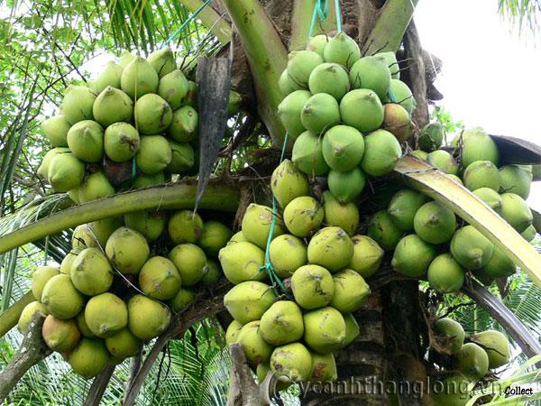 Cây dừa lùn