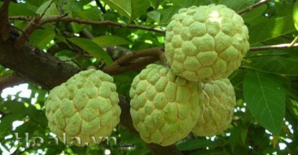 Cây na Thái Lan