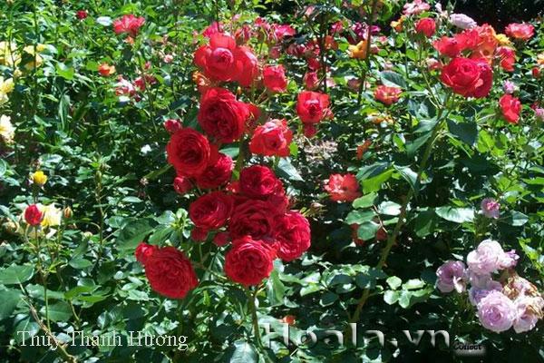 Cây hoa hồng leo Thúy Thanh Hương 144