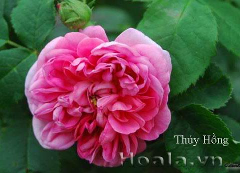 Cây hoa hồng leo Thúy Hồng 156