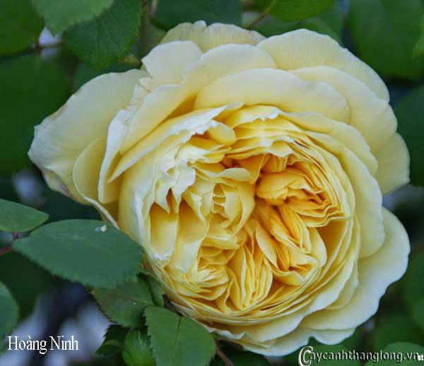 Hoa hồng leo Hoàng Ninh 56