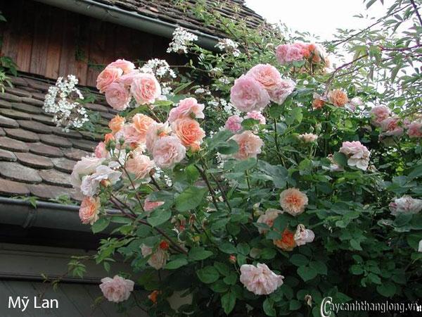 Hoa hồng leo Mỹ Lan 113