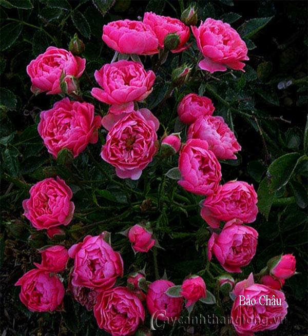 Cây Hoa hồng leo Bảo Châu 160