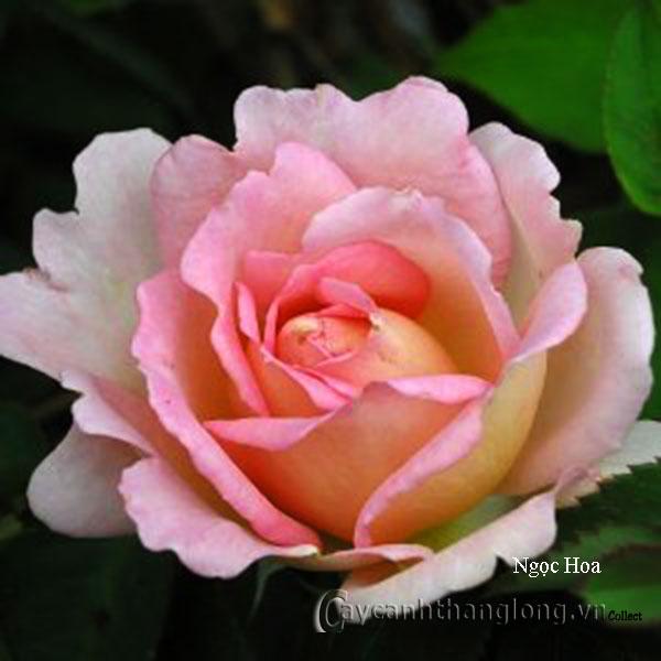 Cây hoa hồng leo Ngọc Hoa 166