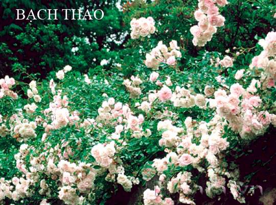 Cây hoa hồng leo Bạch Thảo 169