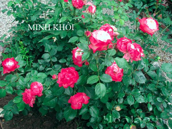 Cây hoa hồng leo Minh Khôi 171
