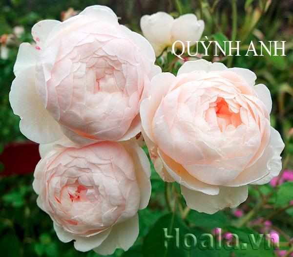 Cây hoa hồng leo Quỳnh Anh 173