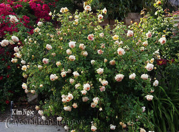 Cây hoa hồng leo Kim Ngọc 178