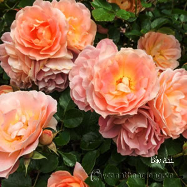 Cây Hoa hồng leo Bảo Anh 185
