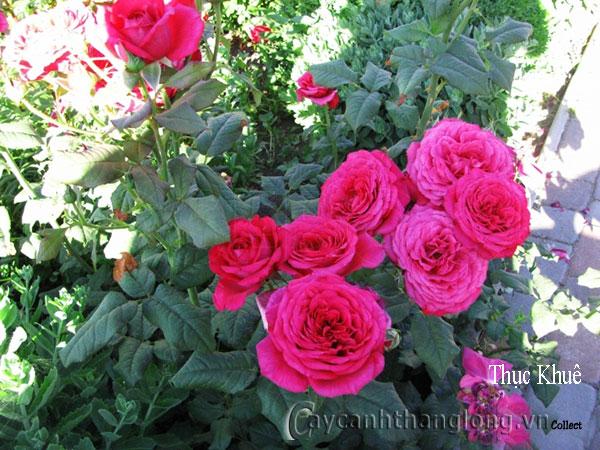 Cây Hoa hồng leo Thục Khuê 186
