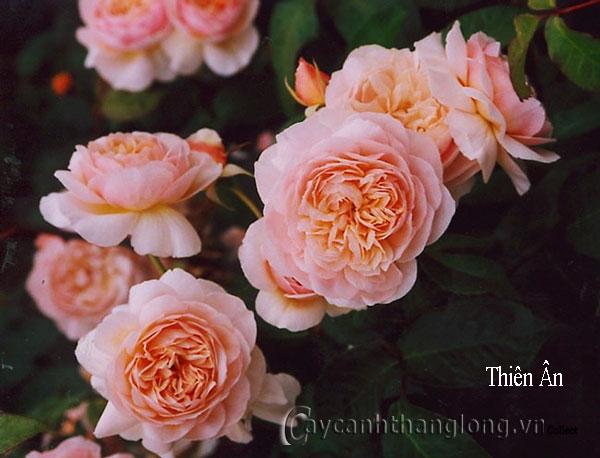 Cây Hoa hồng leo Thiên Ân 187