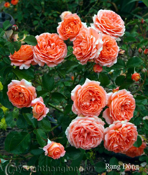 Cây hoa hồng leo Rạng Đông 199