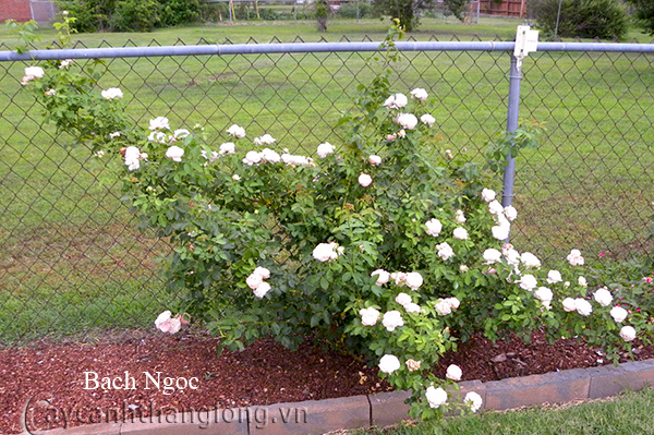 Cây hoa hồng leo Bạch Ngọc 201