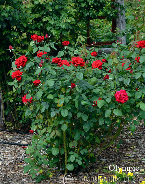 Cây hoa hồng leo Olympic 202