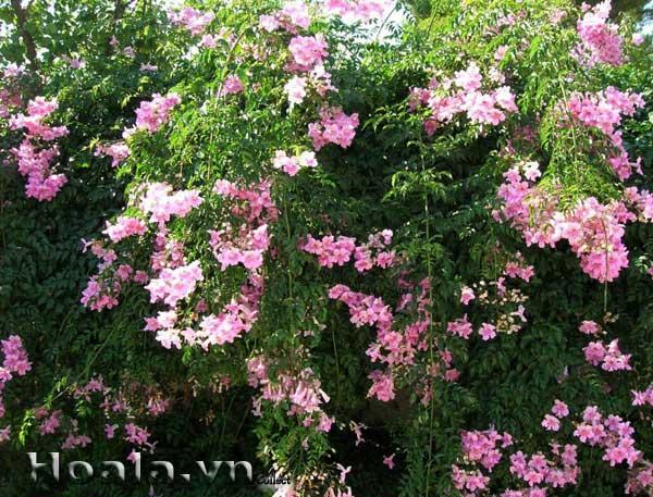 Cây hoa Hồng thiên lý