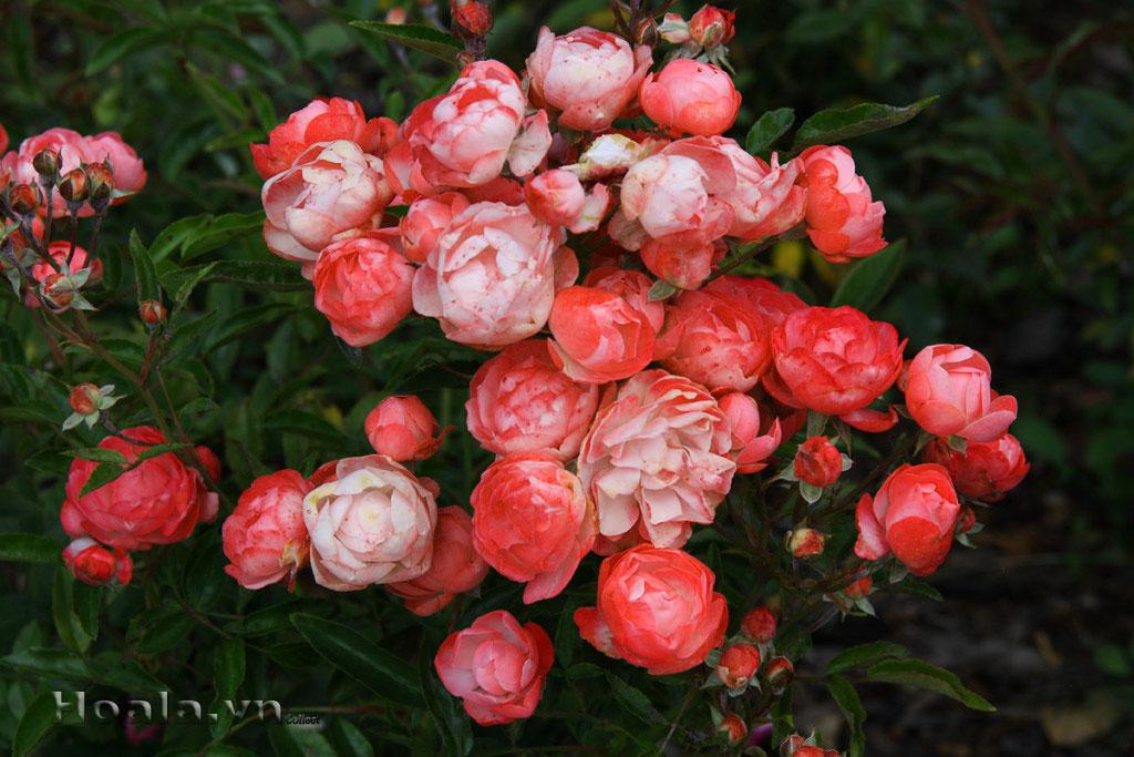 Cây hoa hồng baby