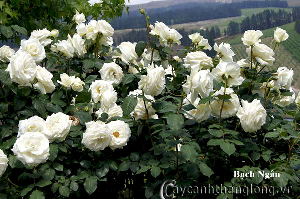 Cây hoa hồng leo Bạch Ngân 206