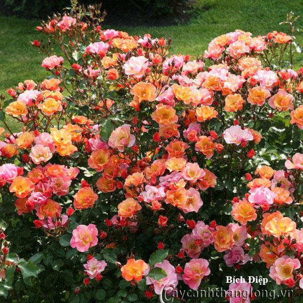 Cây hoa hồng leo Bích Điệp 211
