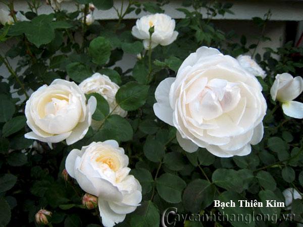 Cây hoa hồng leo Bạch Thiên Kim 212