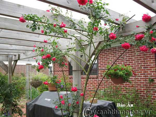 Cây hoa hồng leo Bảo Ân 219