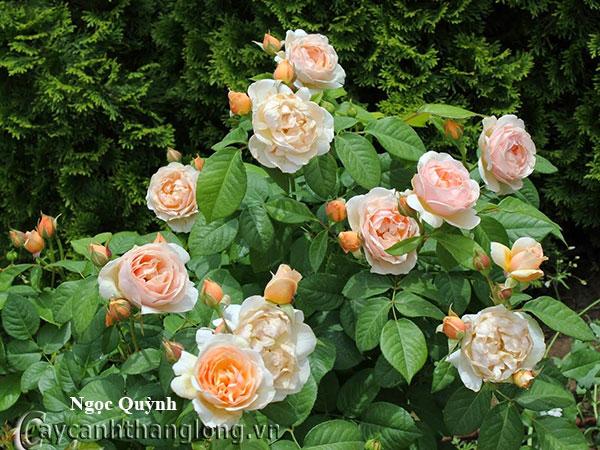 Cây hoa hồng leo Ngọc Quỳnh 224