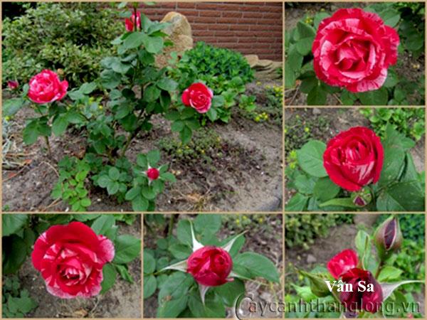 Cây hoa hồng leo Vân Sa 223