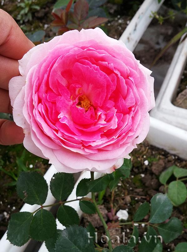 Cây hoa hồng leo Tiên Hồng 128
