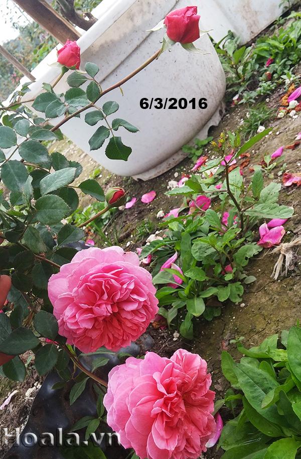 Hoa hồng leo Ngọc Khuê 39