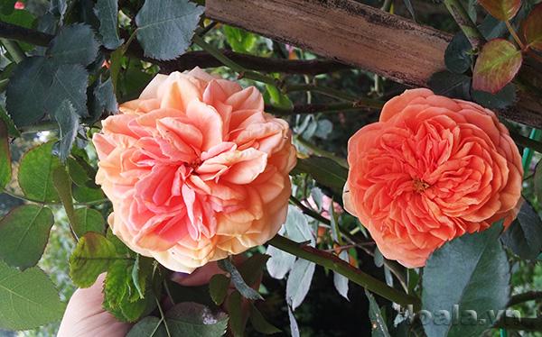 Cây hoa hồng leo Minh Tâm 158
