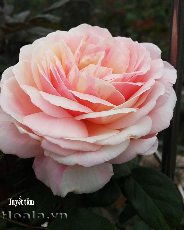 Cây hoa hồng leo Tuyết Tâm 192