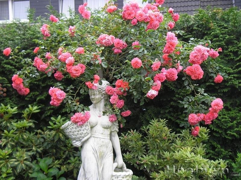 Hoa hồng leo Đào Nguyên 191