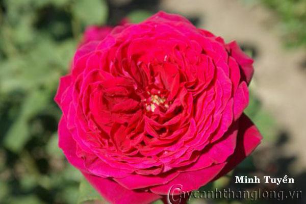 Cây hoa hồng leo Minh Tuyền 203