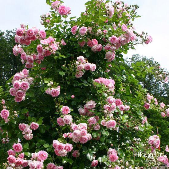 Hoa hồng Lan Chi 57