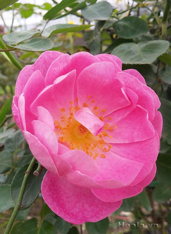 Hoa hồng leo Vân Bích 112