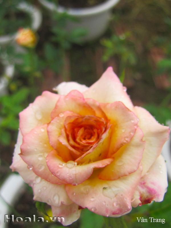 Hoa hồng leo Vân Trang 81