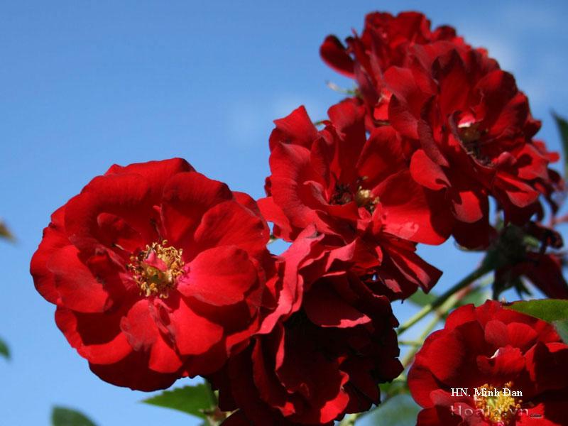 Cây Hoa hồng leo Minh Đan 162