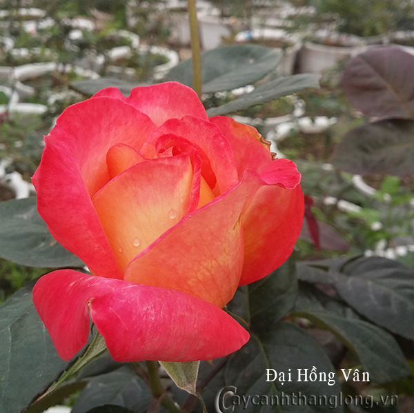 Hoa hồng Đại Hồng Vân 231