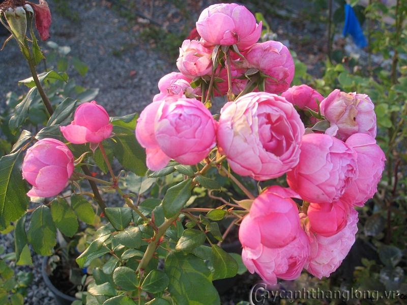 Cây hoa hồng leo Hồng Chung Vân 147